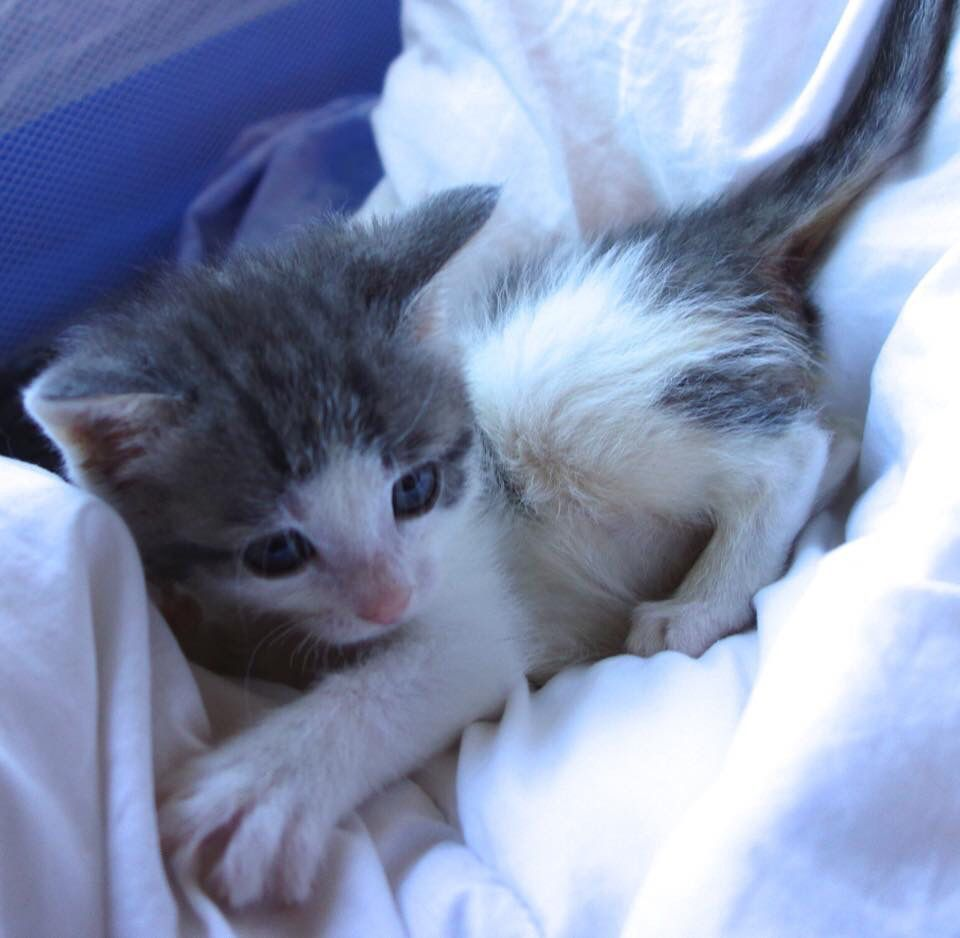 Han Is A 7 Week Old Short Hair Grey And White Kitten Looking For