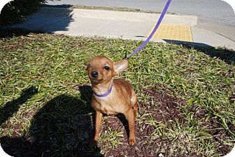 Sweet Little Rosie 6lb Chihuahua Min Pin Mix Available For