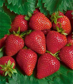25 Strawberry Plants - Chandler Junebearer plants by 25 Strawberry Plants - Chandler Junebearer plants. $15.99. Strawberry Plants - Chandler Junebearer Strawberry plants. Strawberry Plants - Chandler Junebearer  Item # B 20904  Botanical Name: Fragaria Description: Produces lots of semi-early fruit. Medium to large in size and medium in firmness. Very nice, sweet dessert quality flavor. Performs well all over, especially in California and the south and east co...