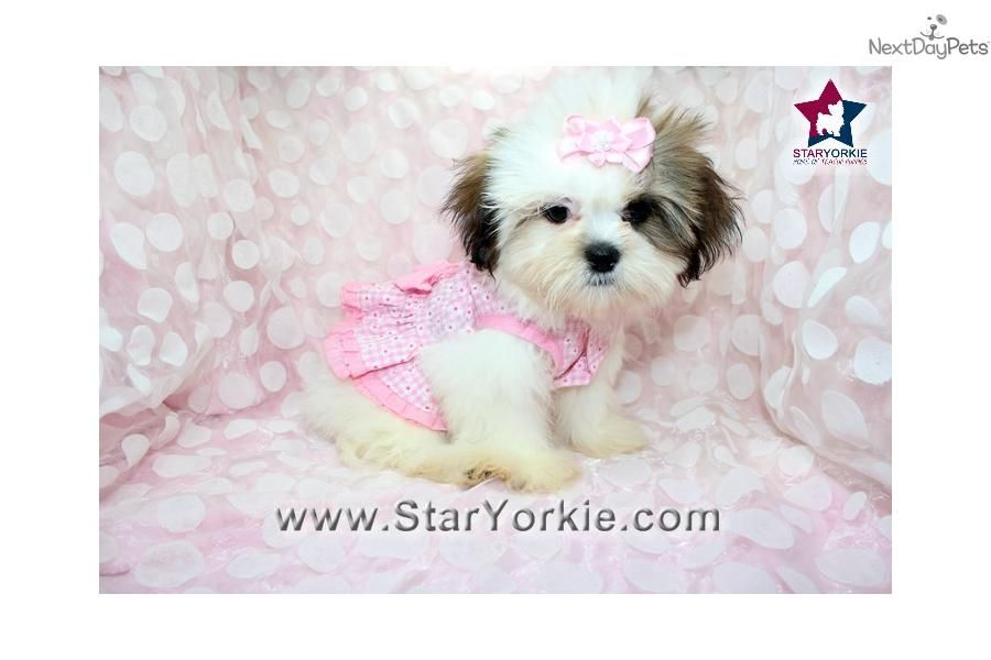 Catherine Zeta Jones Teacup Shih Tzu Puppy In La Shih Tzu