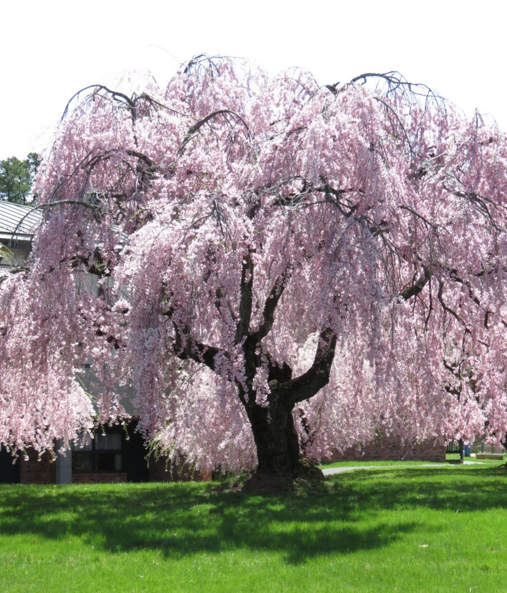 Blossoming nearby blossom trees cherry tree and cherry for Weeping garden trees