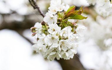 #Cherry #Blossoms @iStock #istock #ktr14 @carinzia #flowers #nature #macro #Details #spring #tree #branches #White #Austria #carinthia #Focus #bokeh #stock #photo #new #download #Portfolio #highres