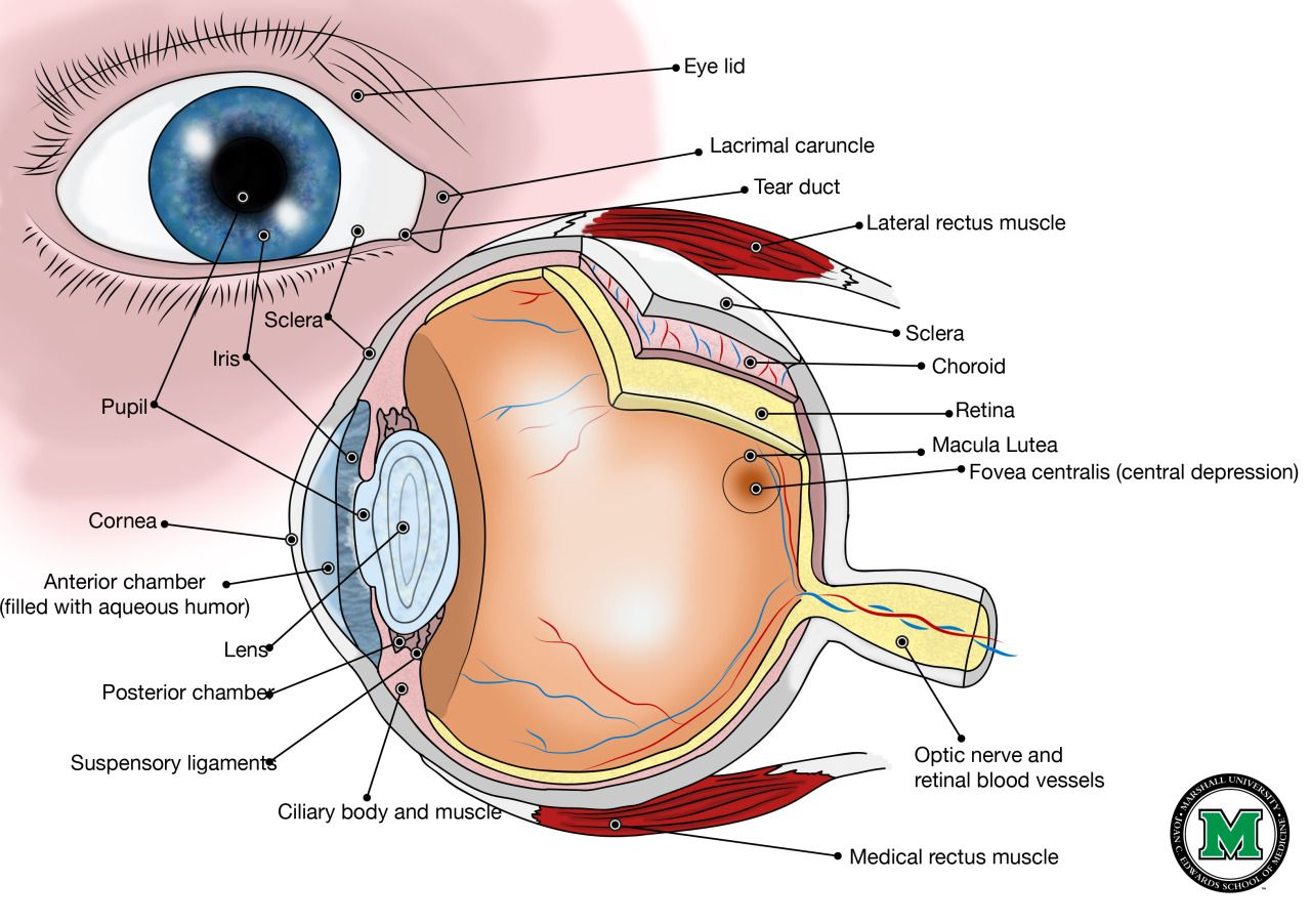 The eye is very unique, i love it! | ANATOMY. | Pinterest | Anatomy ...