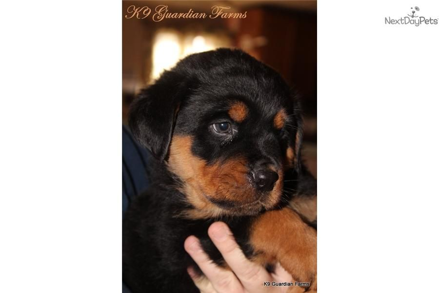 Meet Female A Cute Rottweiler Puppy For Sale For 850 Bumblebee