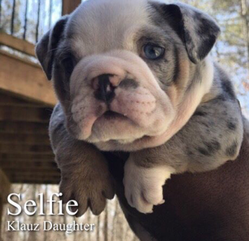 Blue Tri Merle English Bulldog Puppies for sale. Prices