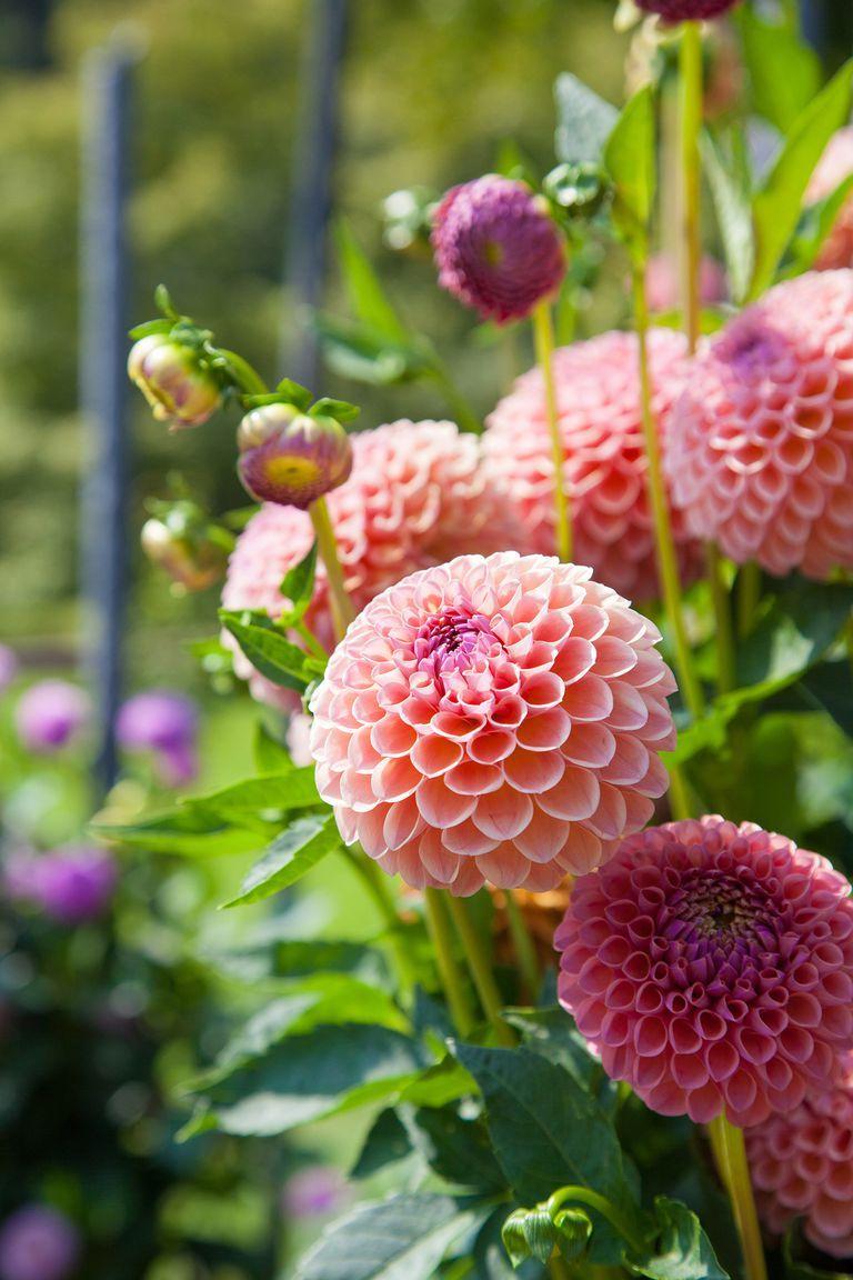2a04dbd8c5768 Make your garden even more lush with annual dahlias. #flowers #decor #diy # wishlist #inspiration #love