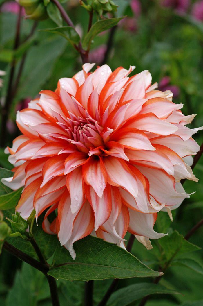 Dahlia Santa Claus Roses Clématite Hortensia Dahlias Pinterest