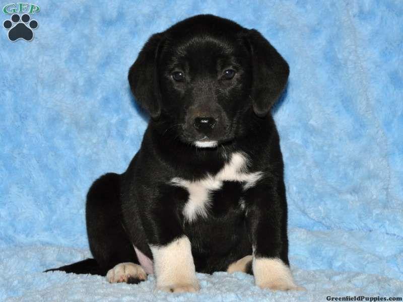 Disney dachshund puppy for sale in pennsylvania