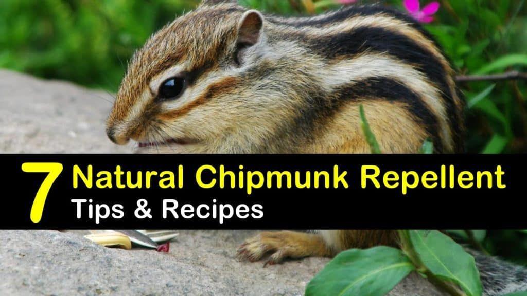 7 smart safe chipmunk repellents chipmunk repellent