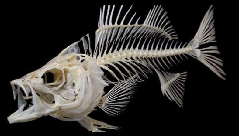 Pin by Ed Derwent on Fish Skeletons   Pinterest   Skeletons