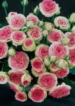 nieuwste roos soorten - Google zoeken