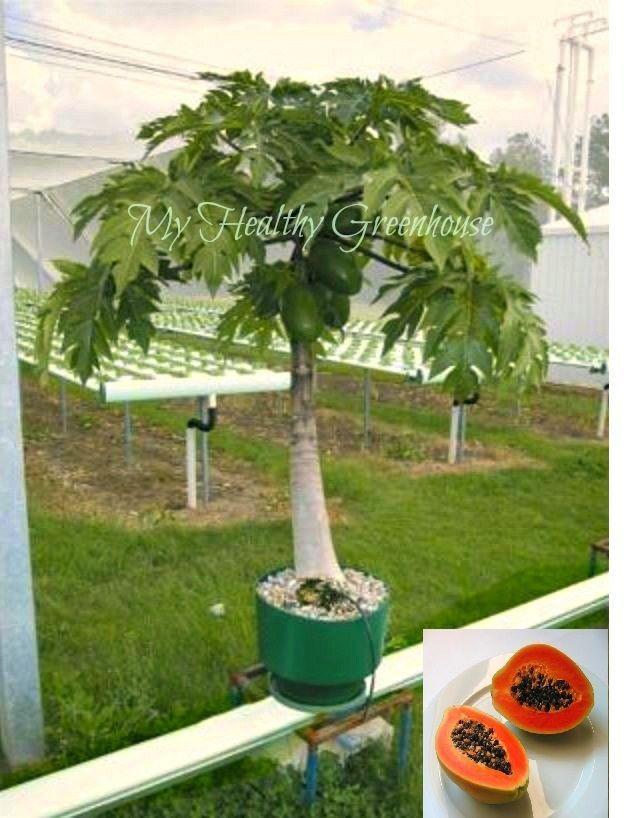 Seeds Self Pollinating Super Dwarf Papaya Red Tropical Carica Papaya Ebay Aquaponics Greenhouse Aquaponics Hydroponic Gardening
