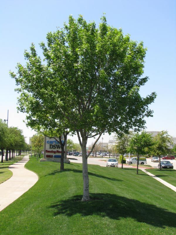 plant two young maple trees spaced evenly in the front easement. beautiful ideas. Home Design Ideas