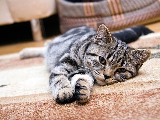 How Much Does A Cat Cost Article Important Cats Pets