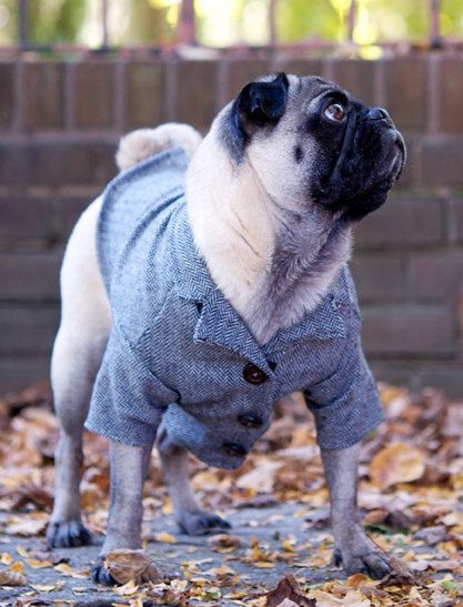 This Pug Is In A Tweed Jacket And The Jacket As Little Elbow