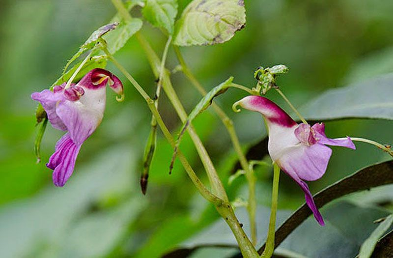 Parrot Flower Impatiens Psittacina Is a Species of Balsam From