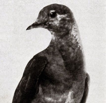 The History of Passenger Pigeons