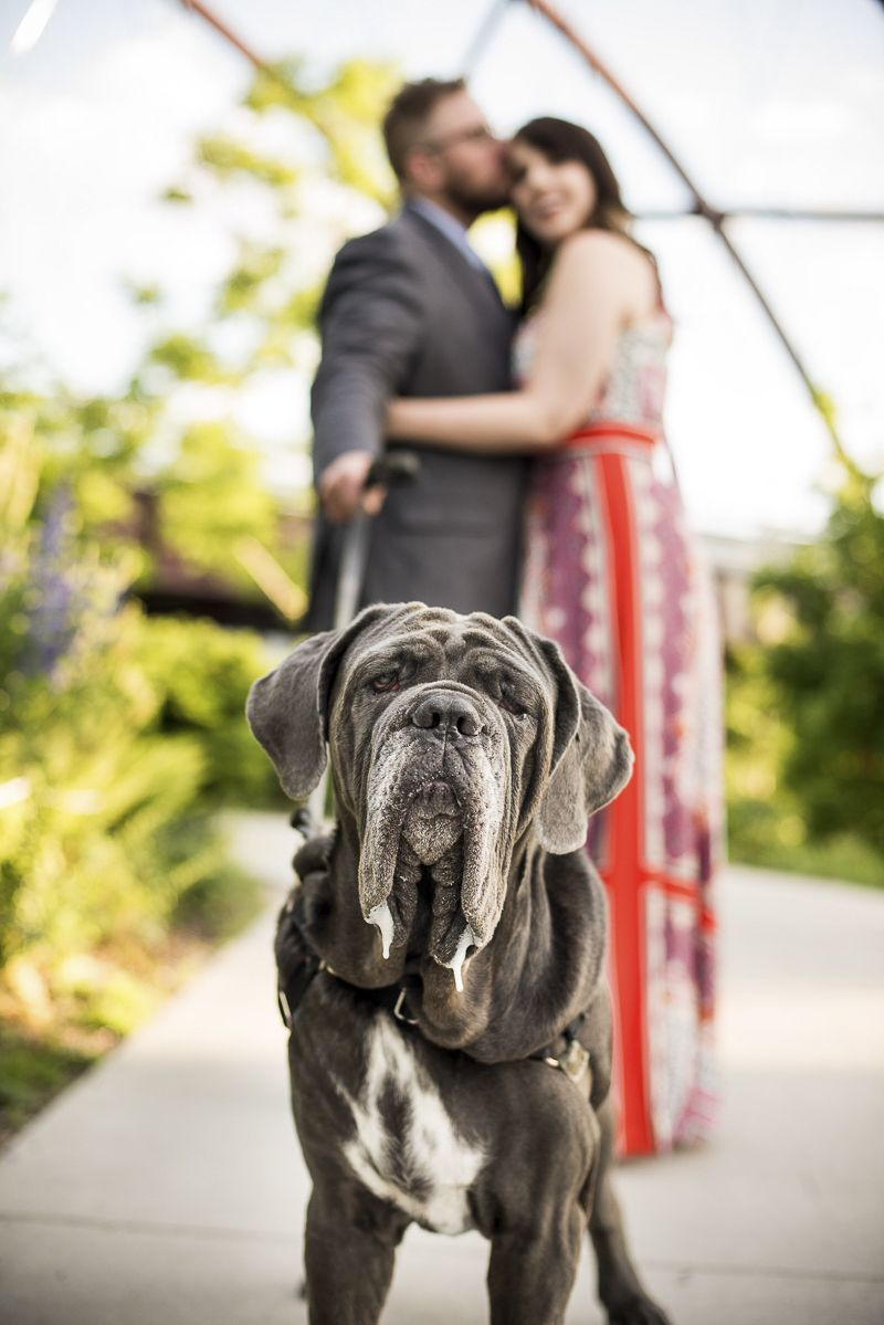 32ccb08bbf03 engagement photos with a dog, Neapolitan Mastiff, ©️️️Cattura Weddings |  engagement portraits with a dog