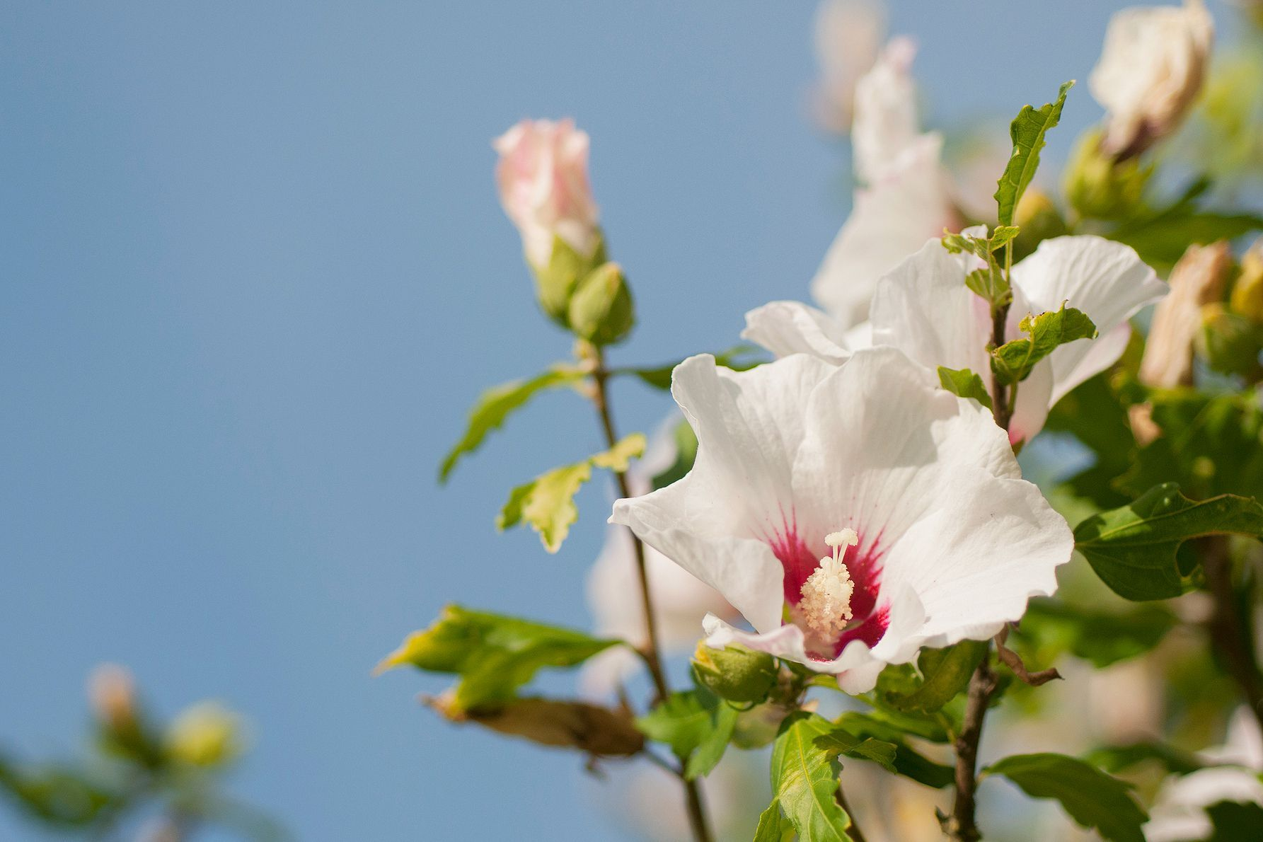 How To Grow And Care For The Flowering Rose Of Sharon Rose Of Sharon Bush Rose Of Sharon Tree Rose Of Sharon