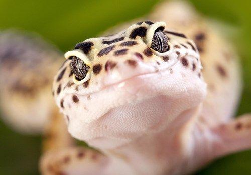 Leopard Geckos Facts Exotic Pets #leopardgeckos