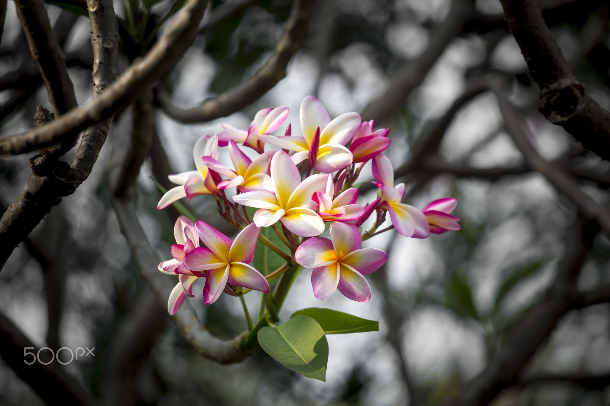 Lal Gulachin Known As Lal Kath Golap Wallpaper Iphone Cute Tropical Flowers Flowers