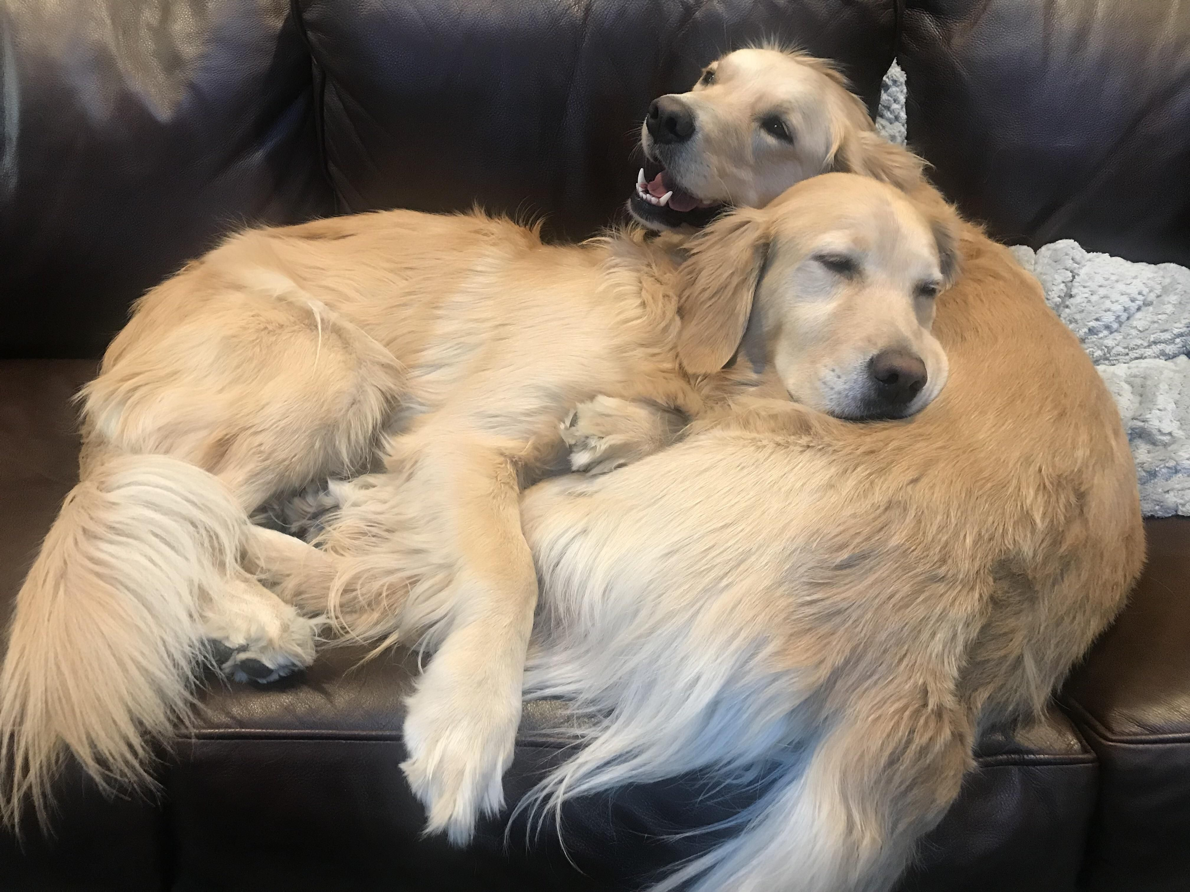 Meet Yin And Yang Or Dolly And Daisy Dogs Golden Retriever