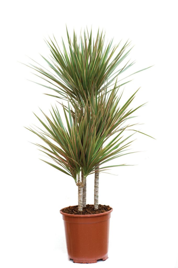 Red-edged dracaena (Dracaena marginata) | plants that grow ...