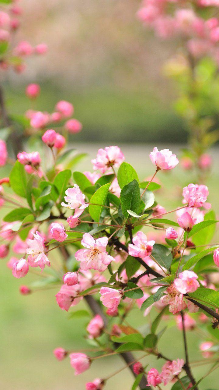 Blossoms Papel De Parede Celular Papeis De Parede Parede Celular