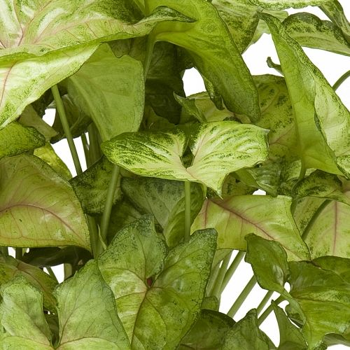 Berry Allusion Nephthytis Syngonium Podophyllum An Arrowhead Vine Arrowhead Plant Angel Plant Plants