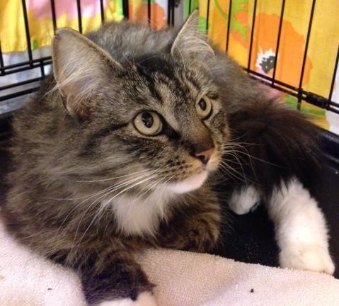 Meet Becky a Petfinder adoptable Domestic Long Hair Cat