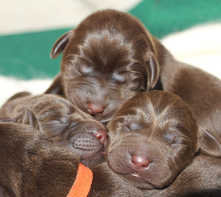 New Born Lab Puppies Dog Pictures Blog Lab Puppies Puppy Dog Pictures Lab Dogs