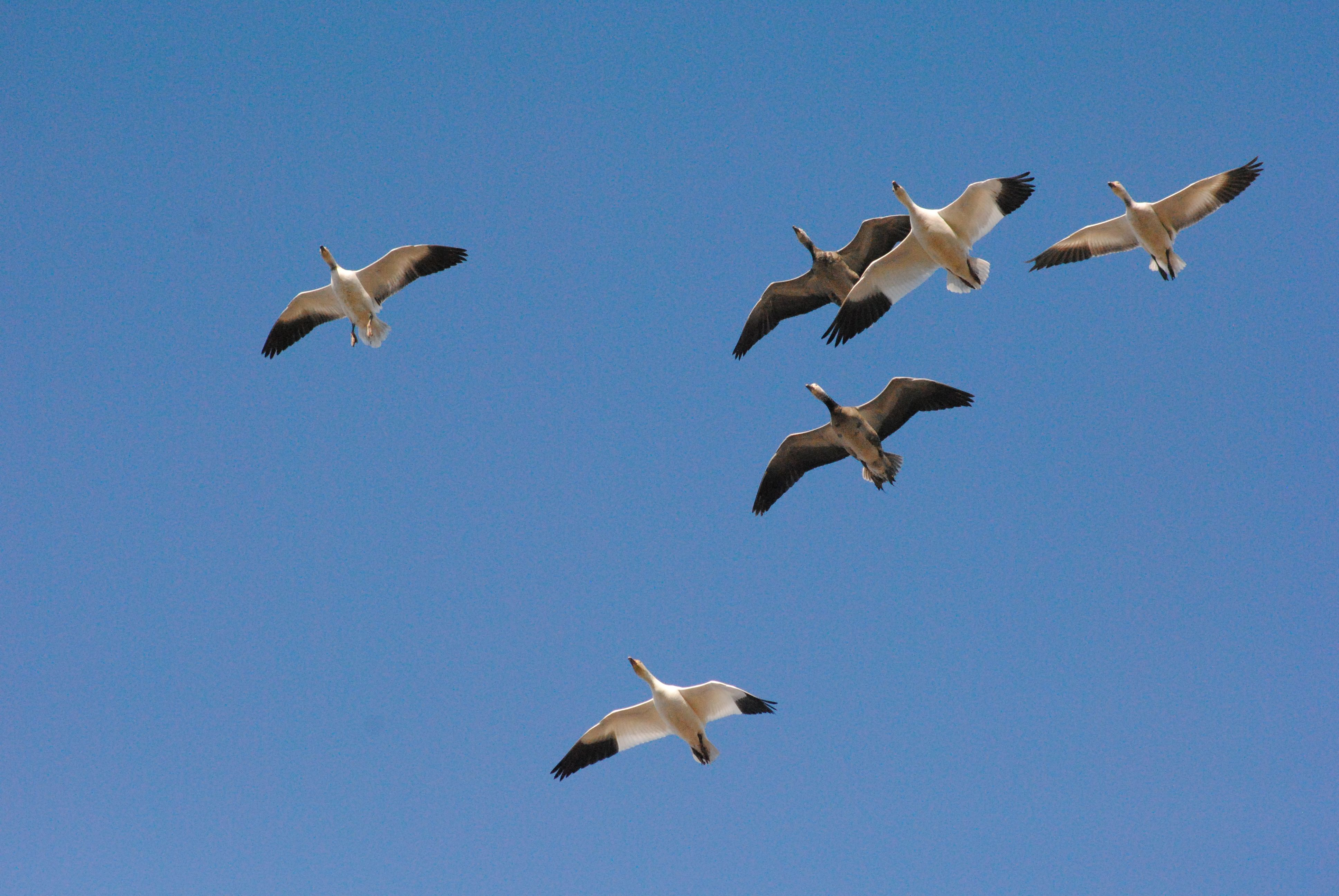 Missouri Snow Geese With Images Snow Goose Snow Goose Hunting