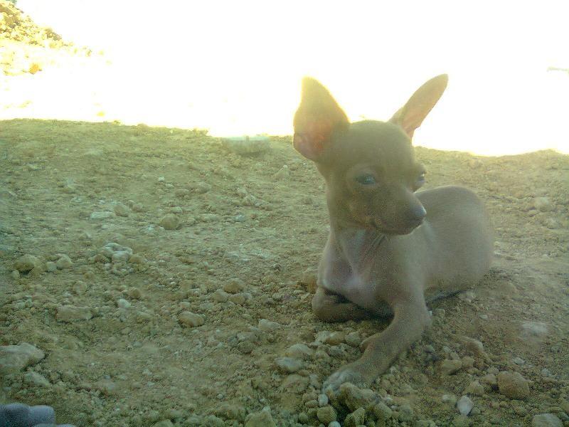 Busco Novio Para Mi Chiguagua Chiquita Buscar Novia Animales Chiguagua