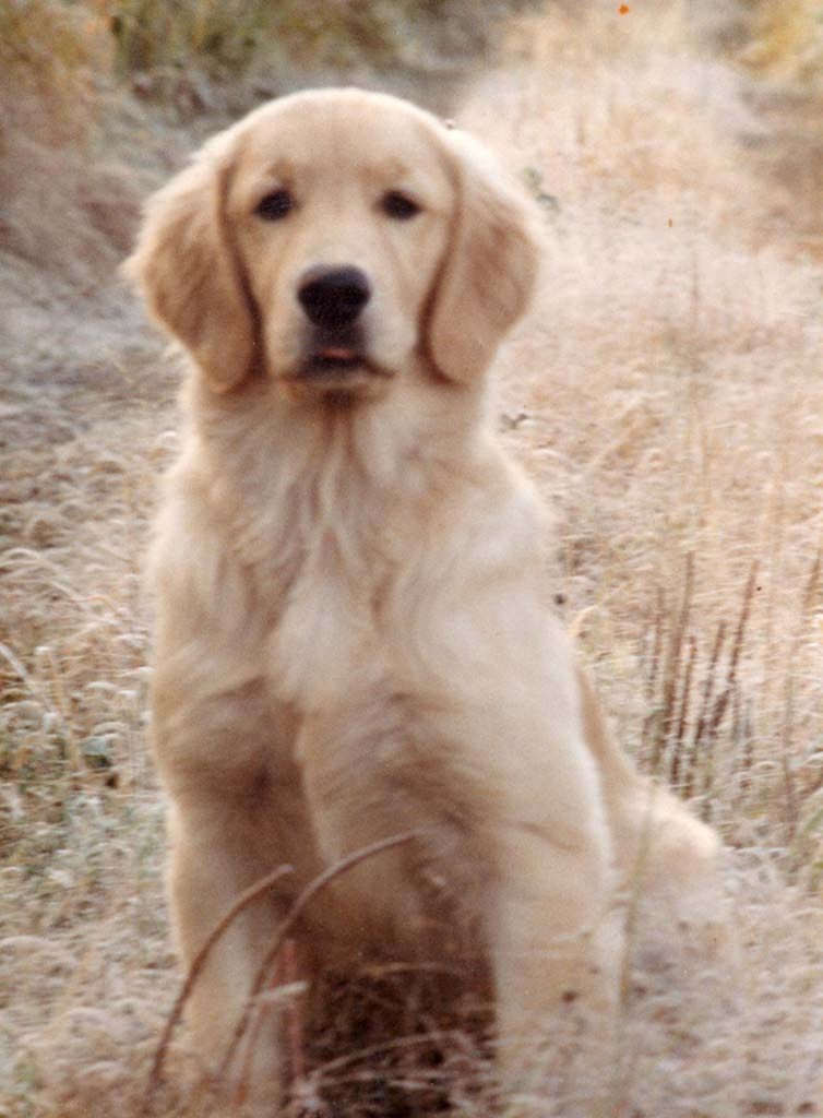 Swwweeeeeeeeeeeeeet Golden Retriever Retriever Puppy Retriever