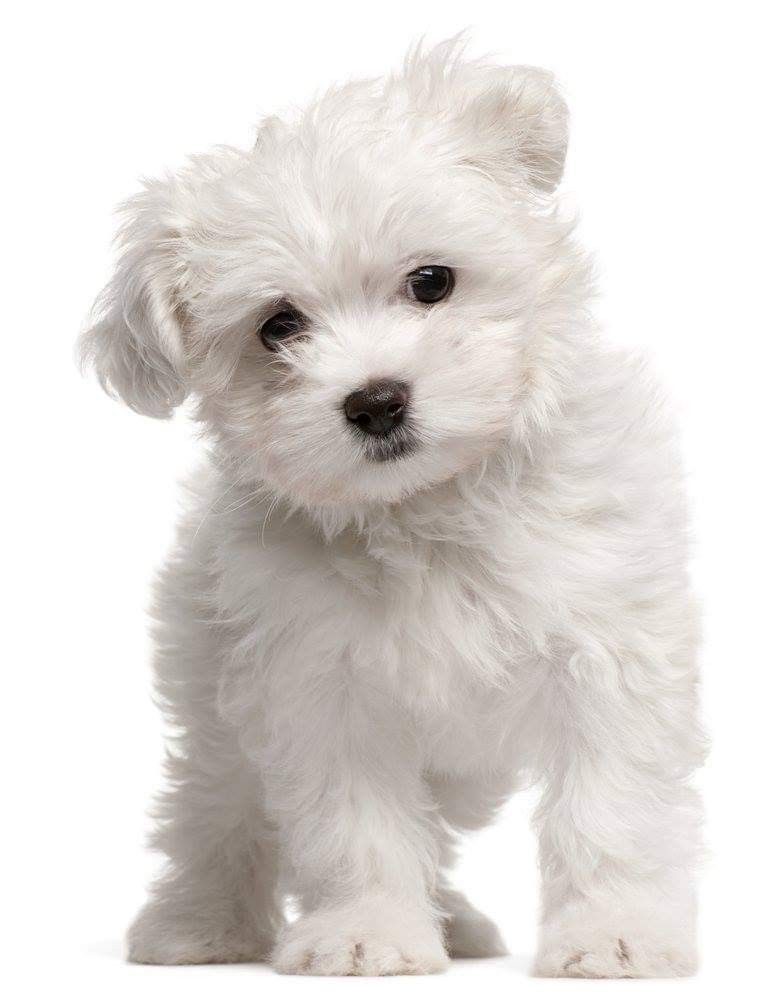 Cute Dog Haircuts – Tips to Choose Cut That Is Best Suited For Your Dog