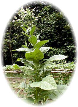 MAPACHO: Sacred Tobacco (Nicotiana rustica