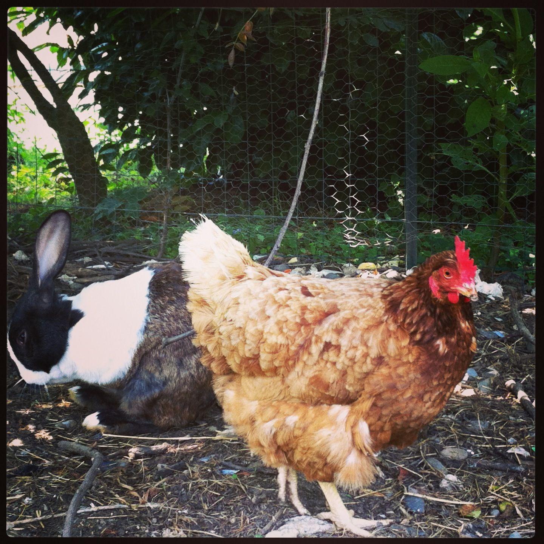lapin et poule copains comme cochons. ©delphine-van-eerdewegh