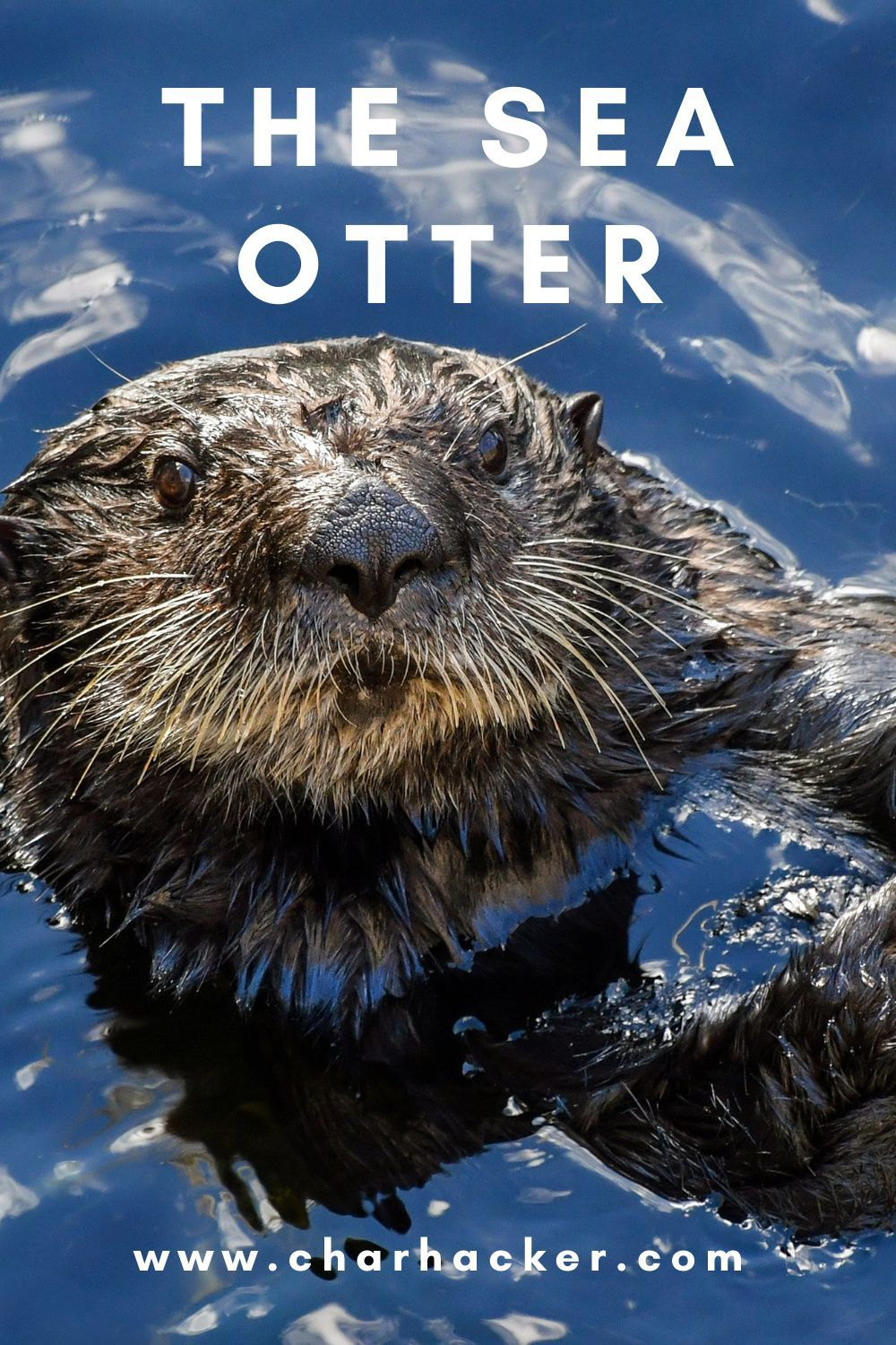 The sea otter is a marine mammal known for some of its amazing features - like having the thickest fur in the animal kingdom! Click to learn more facts in three minutes or less.    #conservation #marinelife #marinemammals #mammals #ocean  #endangered #species #wildlife