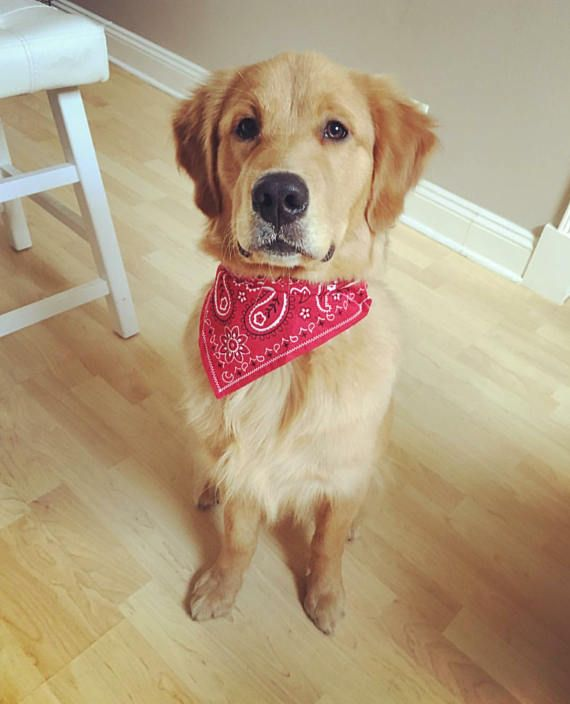Image result for dog wearing bandana in the woods
