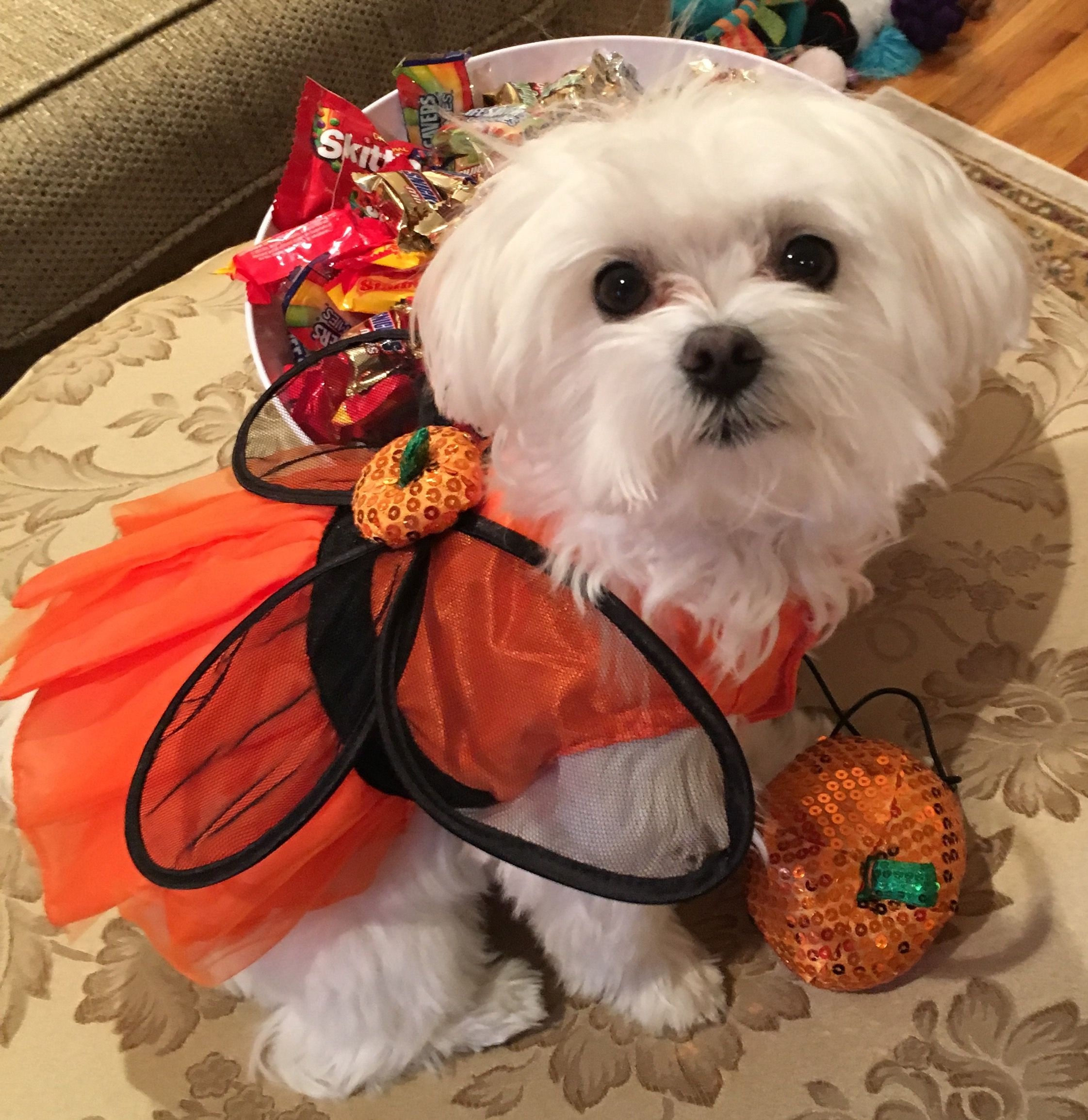 Maltese Pumpkin Fairy Teacup Puppies Maltese Maltese Dogs Maltese Puppy