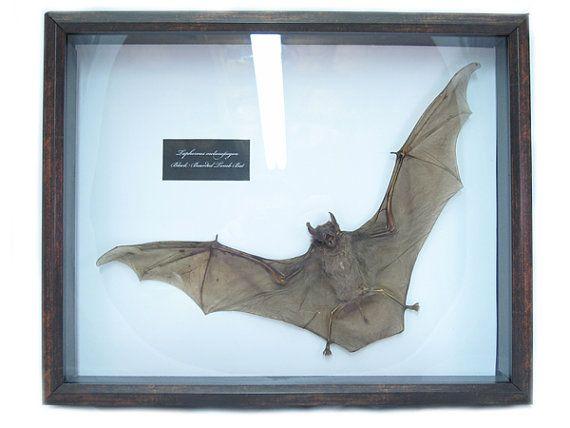 Mummified Bat in Shadowbox