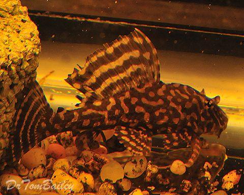 White Spotted Sailfin Plecostomus White Spot Plecostomus Freshwater Fish