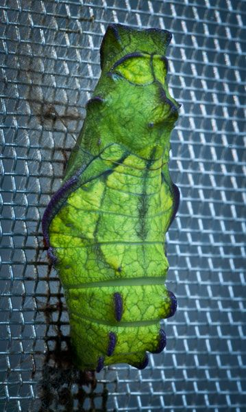 At the top of the chrysalis for the pipevine swallowtail butterfly there are patterns that mimic eyes, nose and ears. The string around the neck is woven by the caterpillar before it changes into this shape.