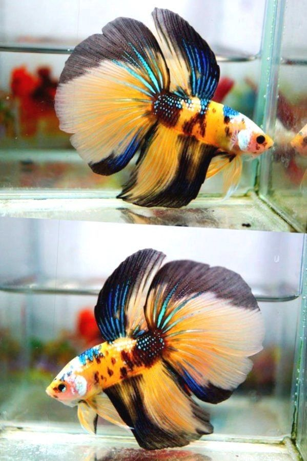 Live betta fish hm male yellow green blue white black for Black and white betta fish