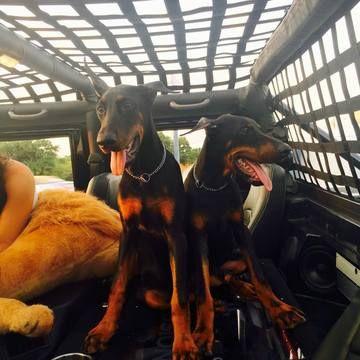 Doberman Pinscher Puppy For Sale In Weatherford Tx Adn 20408 On Puppyfinder Com Gender Male Age Doberman Pinscher Doberman Pinscher Puppy Puppies For Sale