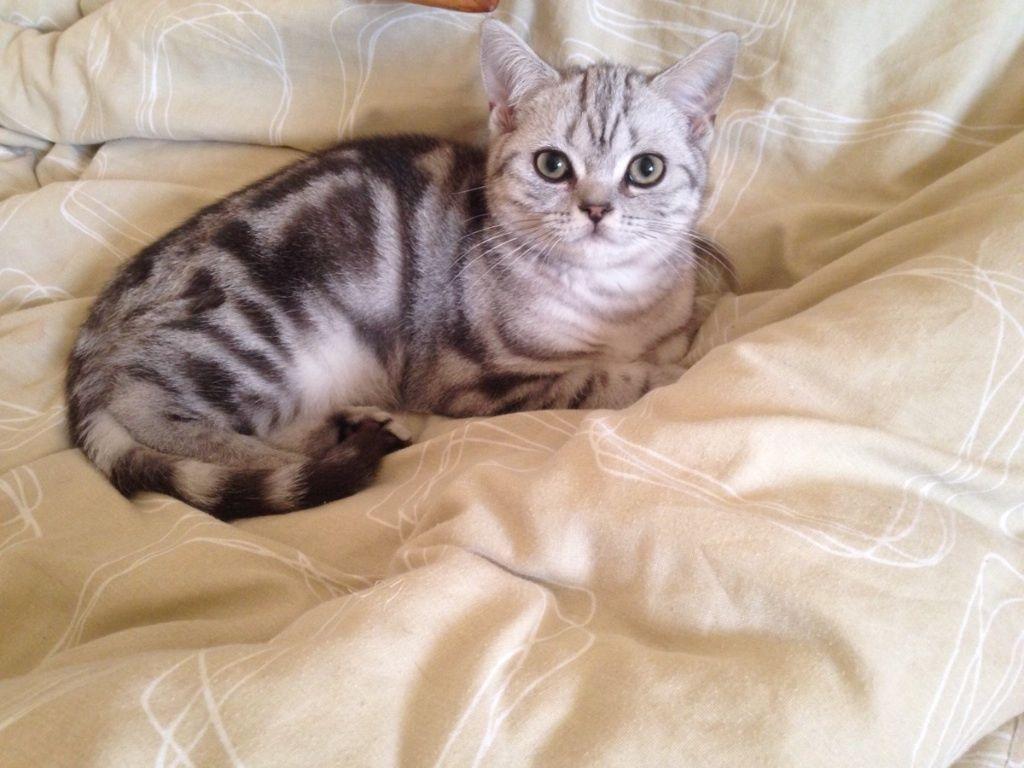 Pin By Maija Kostjukova On Pedigree Kittens For Sale Kitten For Sale Kittens Tabby