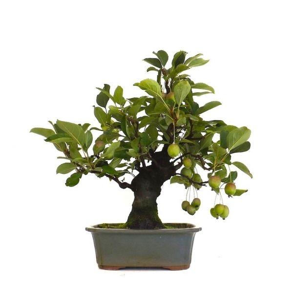 votre professionnel du bonsa en ligne vous pr sente ce bonsai pommier malus cerasifera de 43 cm. Black Bedroom Furniture Sets. Home Design Ideas