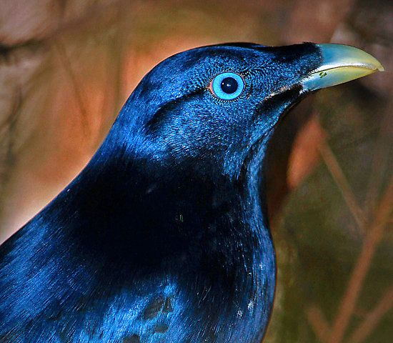 blue bower bird