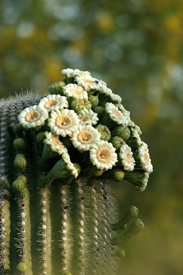 Plantas Del Desierto Desert Botanical Garden En Arizona El Blog De La Tabla Flor De Cactus Plantas Del Desierto Flores