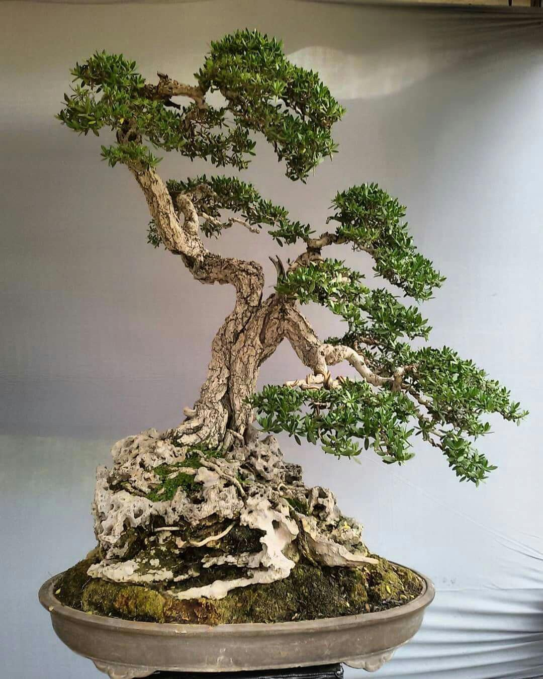 Indoorbonsaitrees Bonsai Tree Bonsai Tree Types